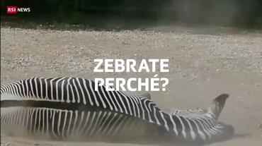 La zebra confonde gli insetti
