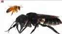 L'ape gigante non è estinta