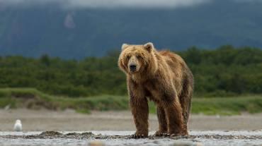 Più facile uccidere orsi e lupi