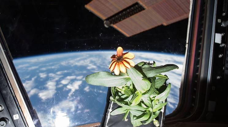 Un fiore di Zinnia sulla ISS nel 2016