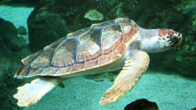 La giornata mondiale delle tartarughe marine: le 7 specie