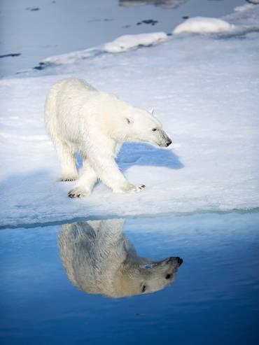 Uno dei 3000 orsi polari sopravvissuti alle Svalbard