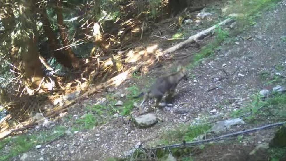 Nuova cucciolata di lupi in Val Morobbia