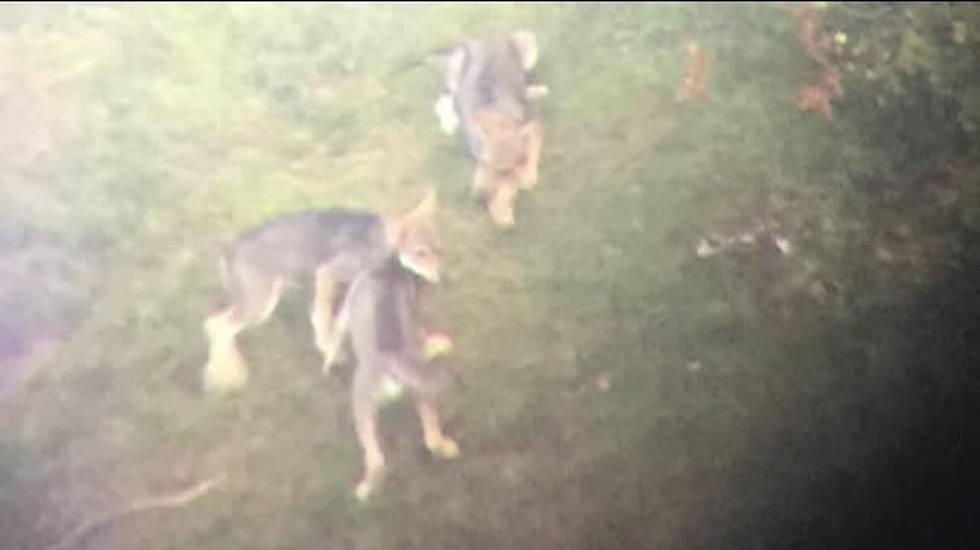 Cucciolata di lupi in Morobbia