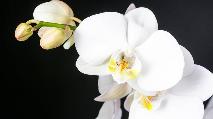Orchidee: belle ma per quanto?