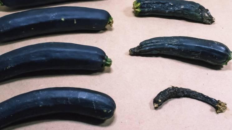 La zucchina immortale