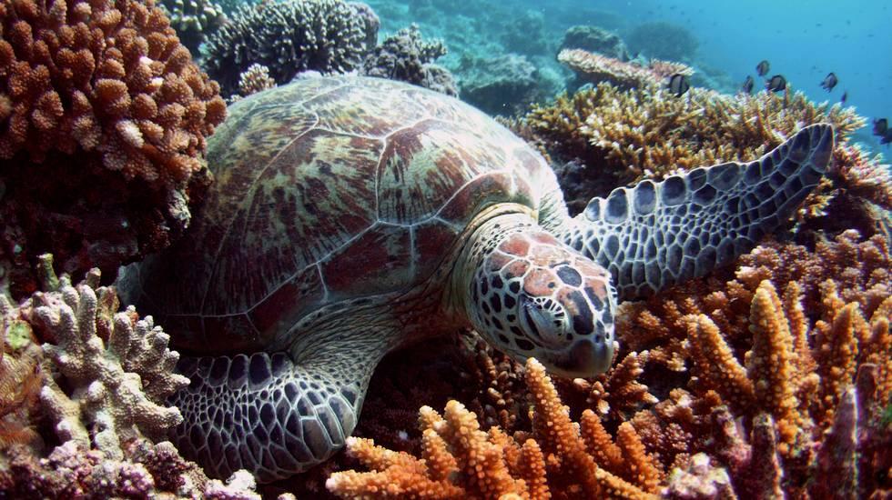 Tra le tartarughe verdi dominano le donne... a causa del clima