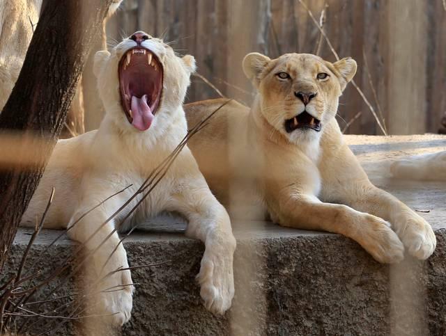 È stato valutato il divieto totale di commerciare leoni africani e le loro parti. Alla fine il compromesso: vietato vendere ossa, artigli e denti di quelli selvatici ma rimarrà legale la compravendita della parti di quelli allevati in cattività. Il Sudafrica, che da solo ospita quasi 10'000 leoni allevati in cattività destinati alla caccia o al commercio, dovrà ogni anno documentare quanti ne vengono commerciati. Ma il punto è un altro: come riconoscere le parti del corpo di leoni allevati in gabbia da quelle di leoni selvatici?