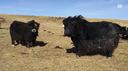 La Svizzera punta sullo yak