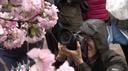 I ciliegi in fiore di Osaka