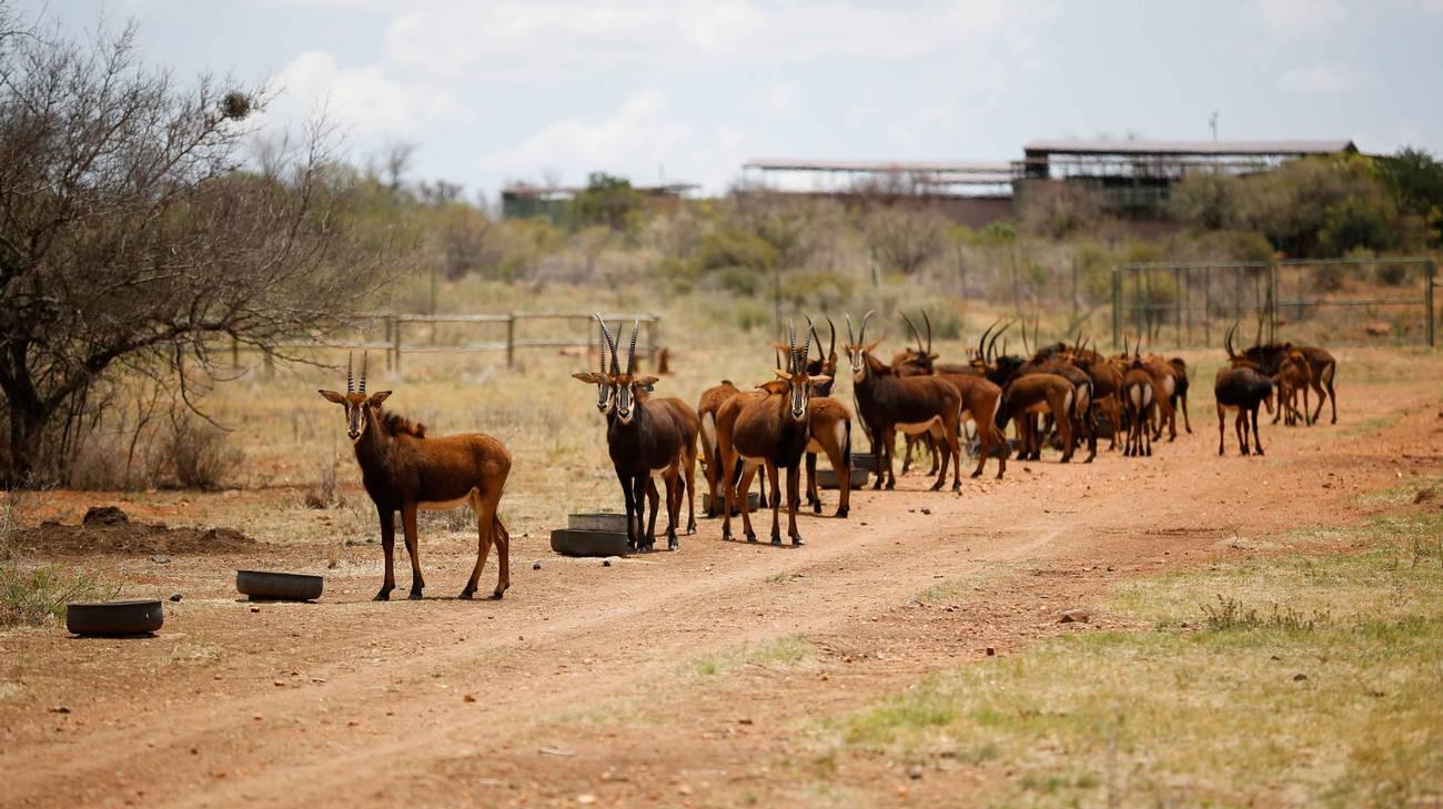 Anche le antilopi sono minacciate dai troppi conflitti armati in Africa