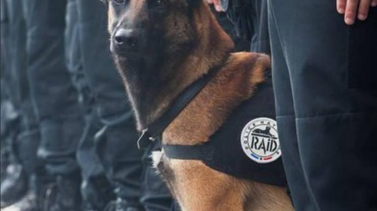 Diesel, il cane divenuto un eroe con la morte nell'assalto di Saint-Denis