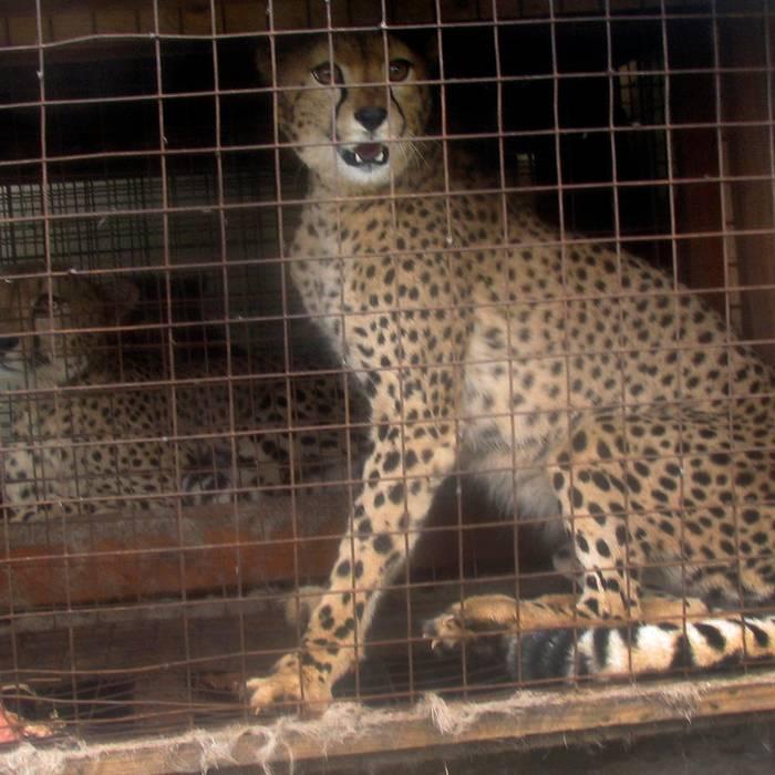 Ghepardi domestici: una moda dei paperoni nel Golfo Persico. Ecco, il CITES ha approvato una serie di raccomandazioni (saranno però i singoli Stati ad dover intervenire) per mettere fine a questo mercato.