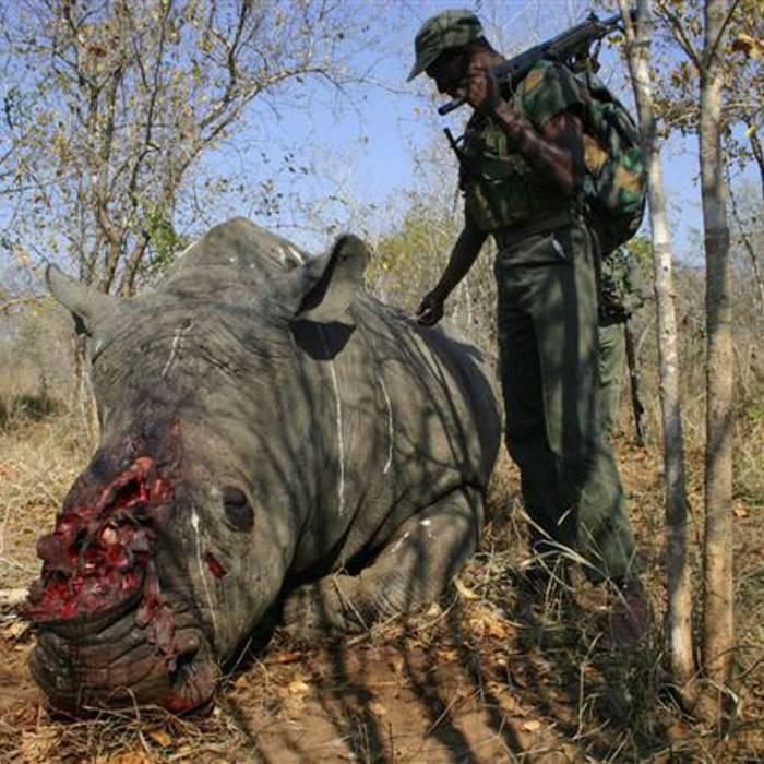 I rinoceronti, in Africa, vengono uccisi ad un ritmo incessante per le loro corna. E il principale paese di destinazione è il Vietnam, accusato di lassismo nel far rispettare il divieto totale di commercio, che risale al 1977. Sanzioni sono quindi state minacciate; i controlli verranno intensificati.