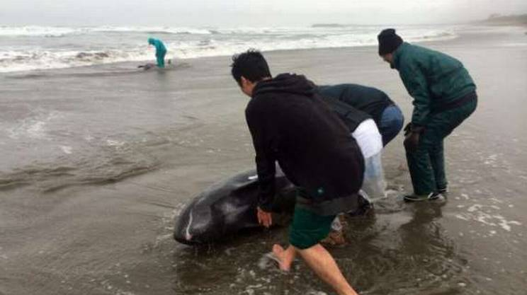 Inutili i tentativi di salvare i cetacei