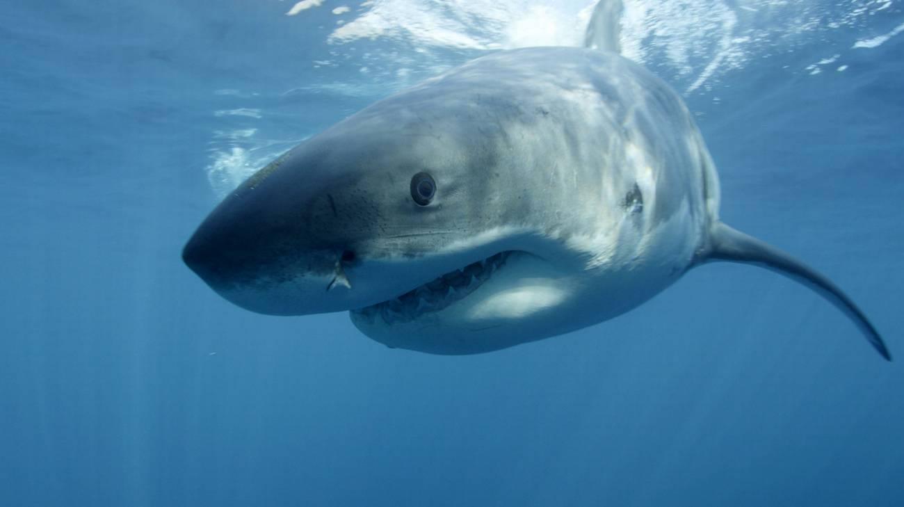 Le autorità italiane non possono confermare che si tratti di uno squalo bianco