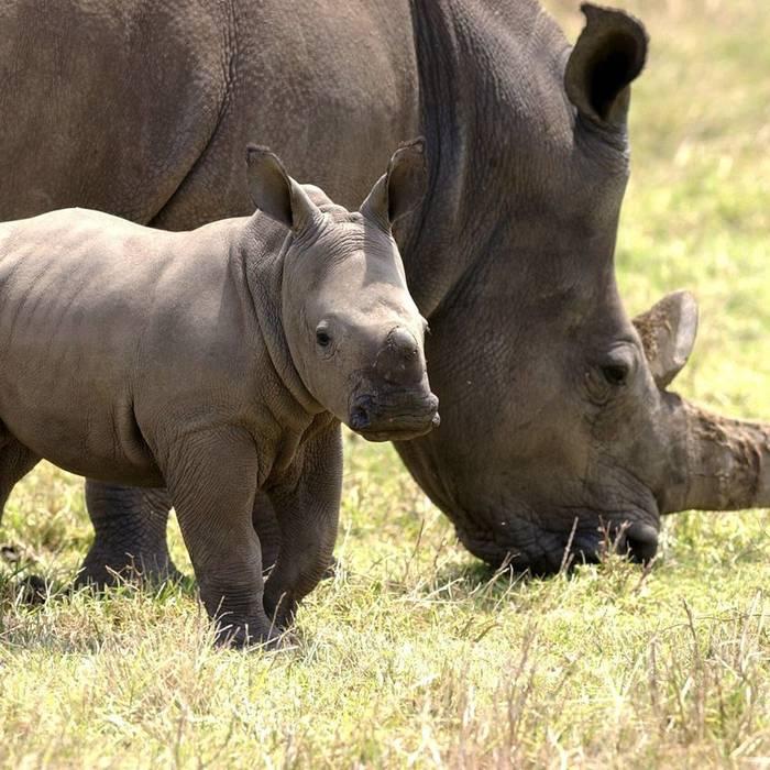 Lo Swaziland ha chiesto di poter ricominciare a vendere corna di rinoceronti bianchi. I proventi verrebbero destinati ad pere di conservazione dei grossi animali. Richiesta respinta dal CITES, ma se ne riparlerà…