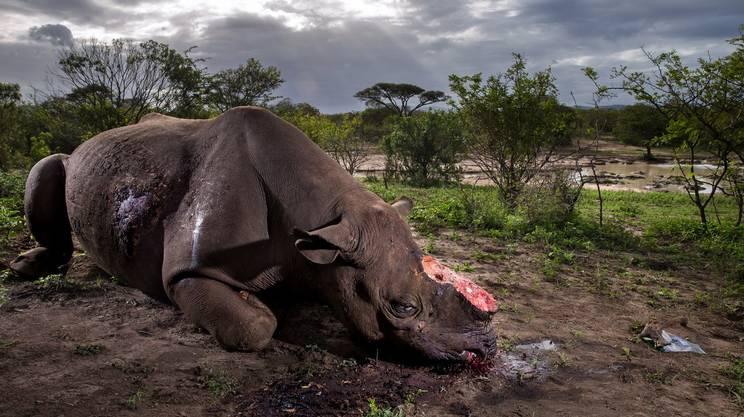 Otto anni fa, i bracconieri hanno abbattuto 13 rinoceronti in Sudafrica. L'anno scorso 1'215. Un aumento del 9'346% (fonte: NMBE)