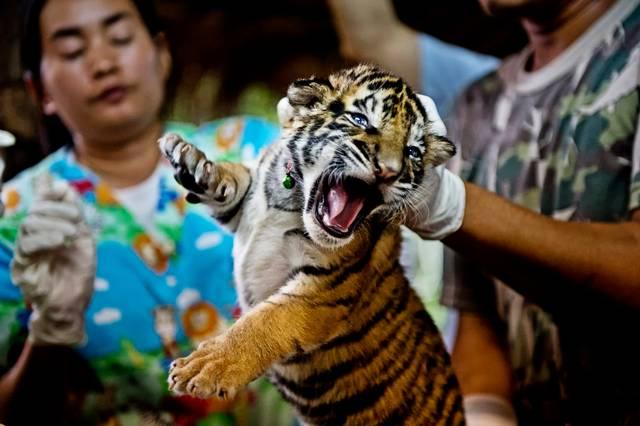 Sono oltre 7'000 le tigri che vivono in strutture private in giro per il mondo, la stragrande maggioranza in Asia. Una nuova proposta per chiudere questi allevamenti è stata presentata durante il congresso CITES.