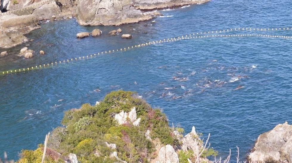 Taiji linferno dei delfini in giappone rsi radiotelevisione svizzera
