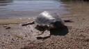 Le tartarughe di Lampedusa