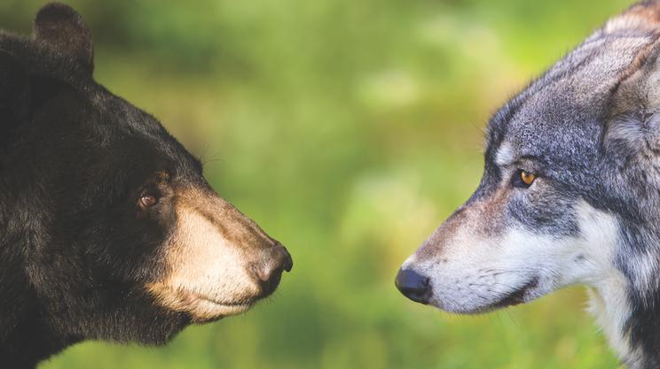 Volk in medved.  Obe vrsti sta bili v Sloveniji preganjani