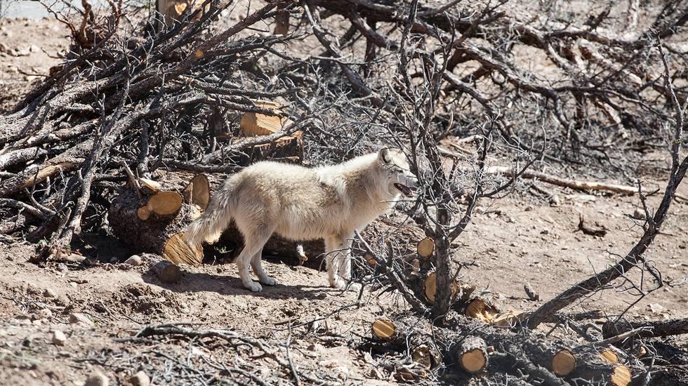 Storie di umani e lupi sopravvissuti alla guerra