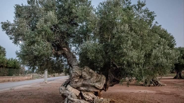 Valle degli ulivi millenari: un ulivo datato in circa 3mila anni, ingloba al centro del tronco un massetto antico-romano