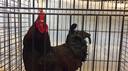 Miss gallina e Mister coniglio