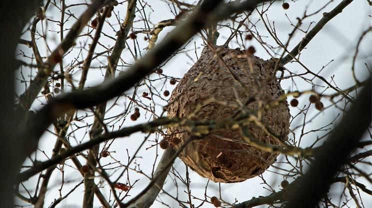 Individuato un nido, va distrutto da un professionista