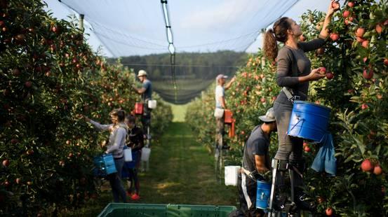 Raccolto di mele da record