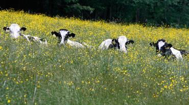 La mucca va dall'agopuntore