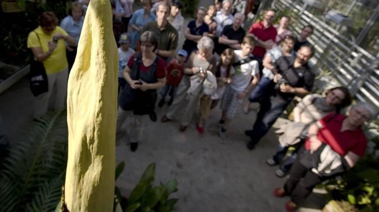Sbocciato anche a Basilea il fiore più puzzolente del mondo