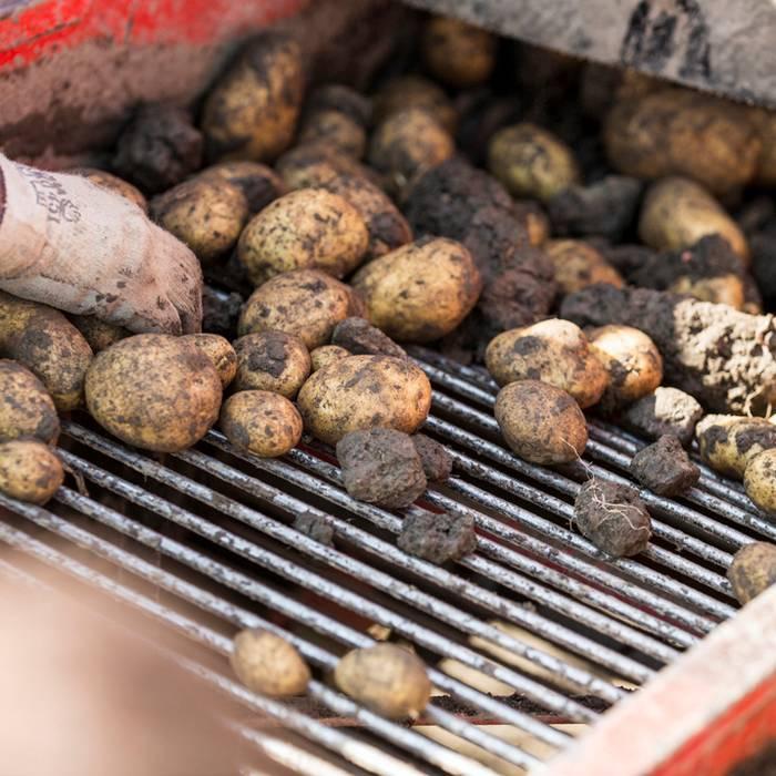 Raccolta di patate sotto la media rsi radiotelevisione for Raccolta patate