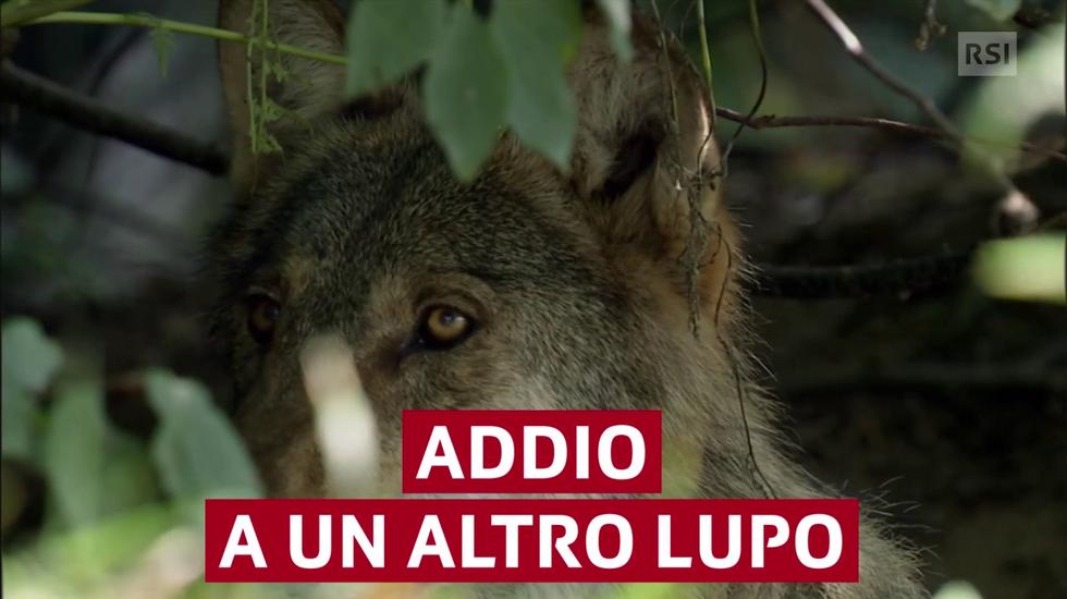 Addio a un altro lupo