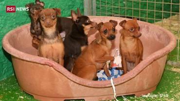 Locarno, 21 cani sequestrati