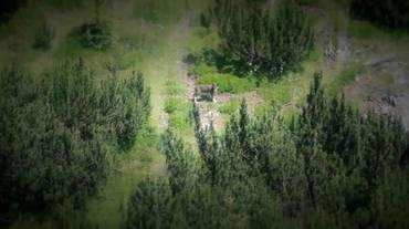 Grigioni, secondo branco di lupi