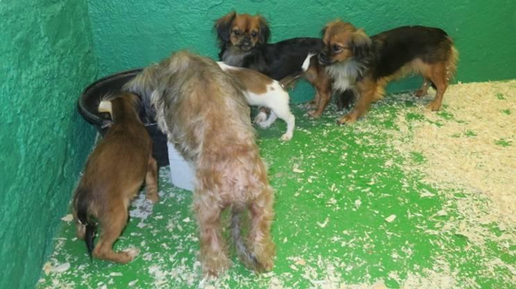 Alcuni dei cagnolini che si trovavano nell'abitazione luganese portati al rifugio della SPAB