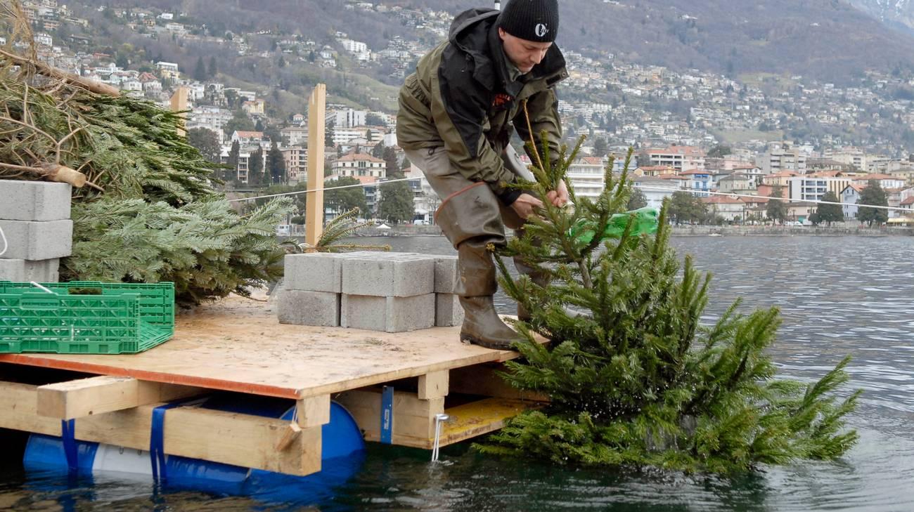 Gli alberelli vengono depositati sul fondale per facilitare la deposizione di uova del pesce persico