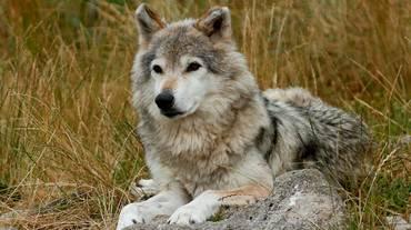Non fu il lupo ad aggredire