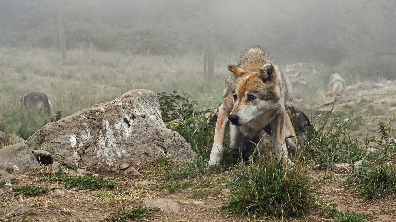 Il lupo ha fame