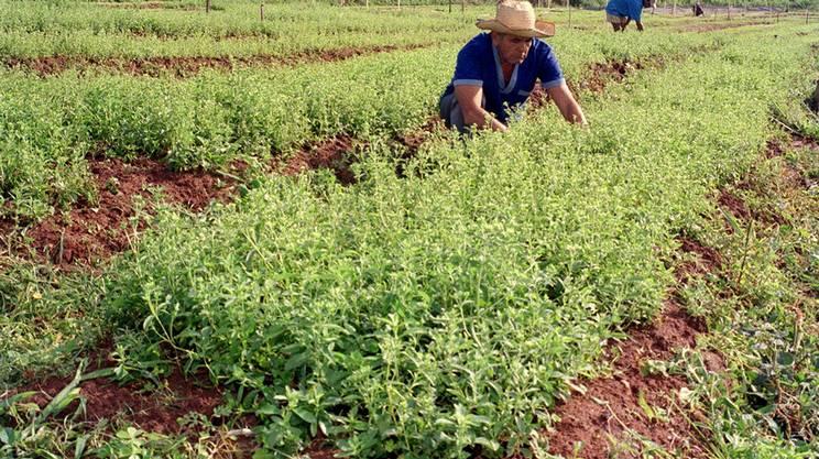 Una piantagione di stevia, pianta classificata da Bertoni, non lontano da Asunciòn