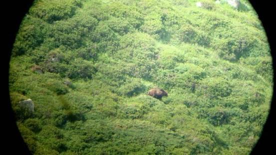 L'orso M13 di nuovo in Valposchiavo