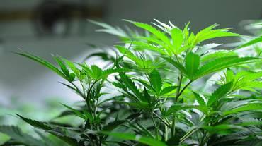 Arriva la laurea in marijuana