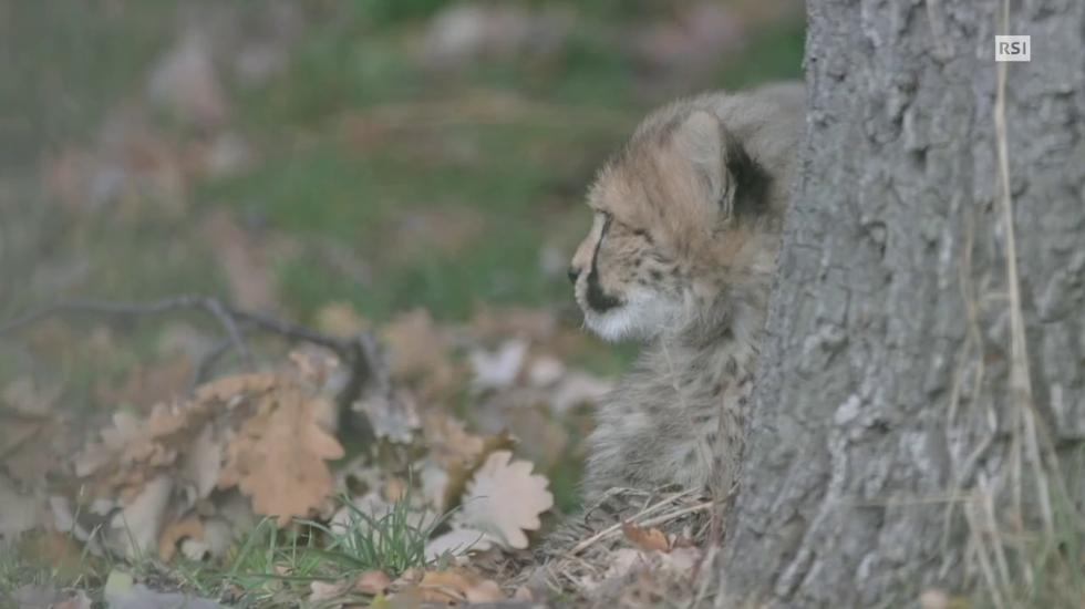 I piccoli di ghepardo nati a Basilea