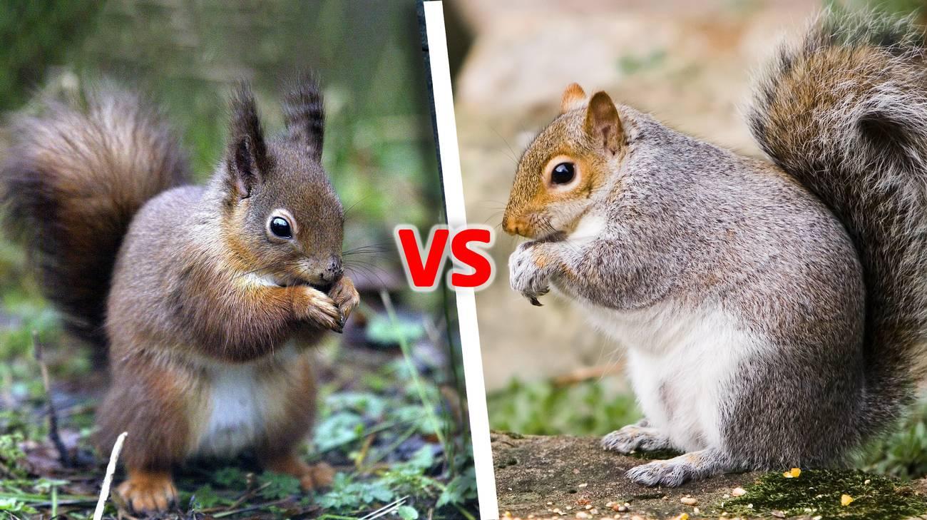 Lo scoiattolo rosso (sin) e lo scoiattolo grigio nordamericano (dx)