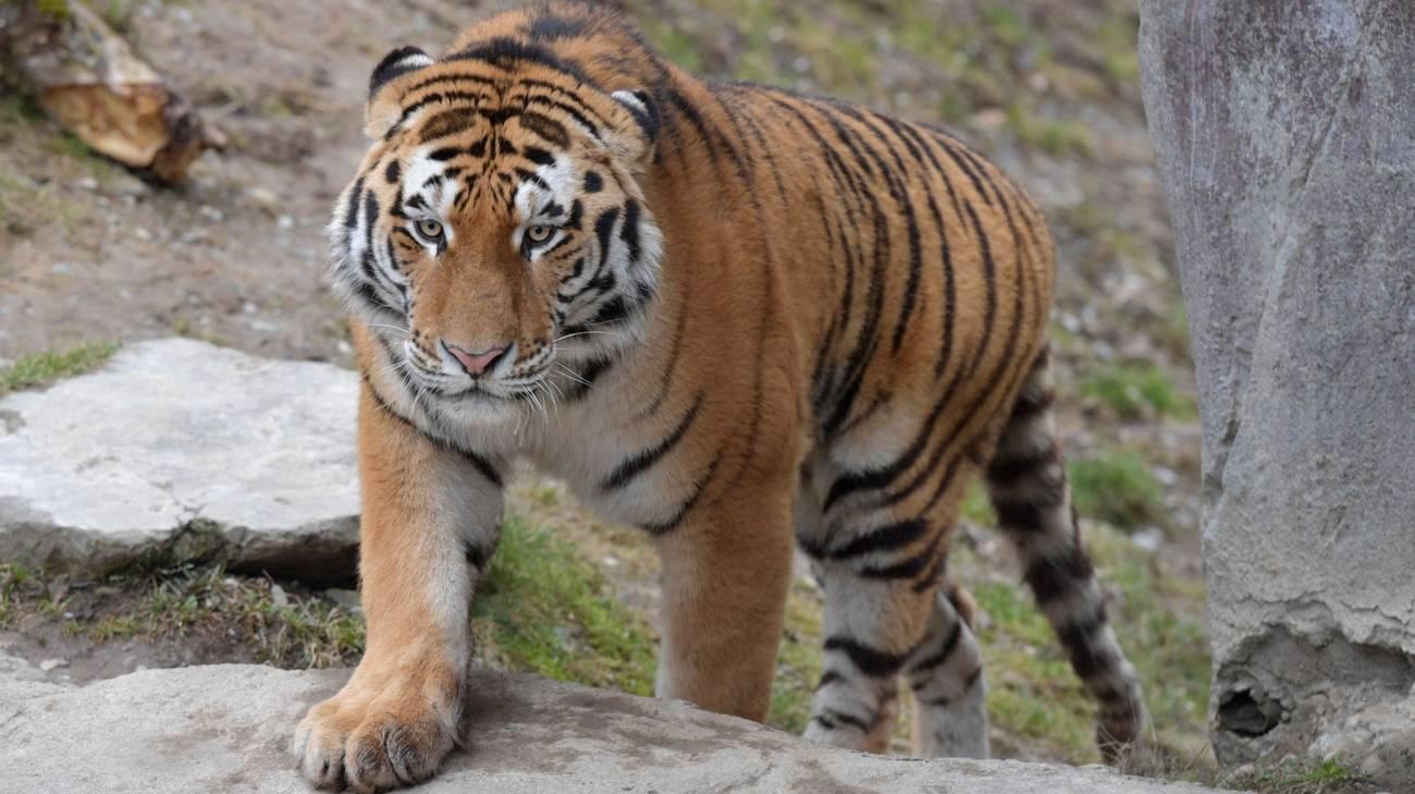 Sayan, la nuova tigre siberiana dello zoo di Zurigo