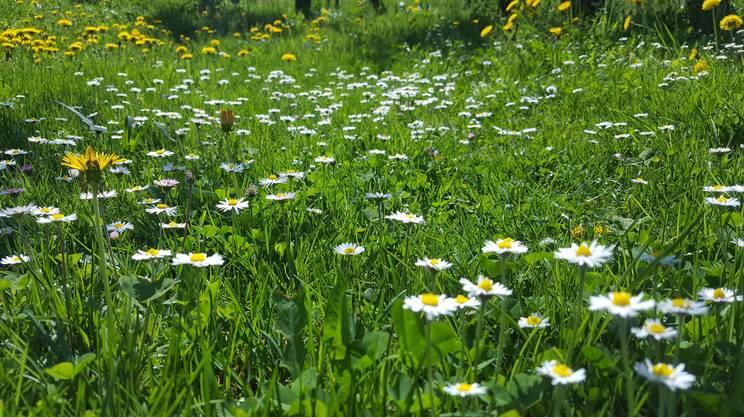 Festival della natura e della biodiversità, margherite, prato fiorito