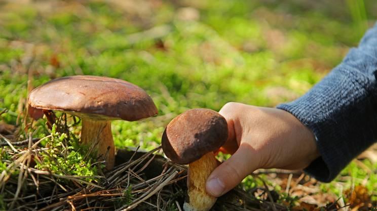 Raccogliere funghi commestibili Boletus nella bosco, Fungo commestibile, Autunno, Fungo porcino