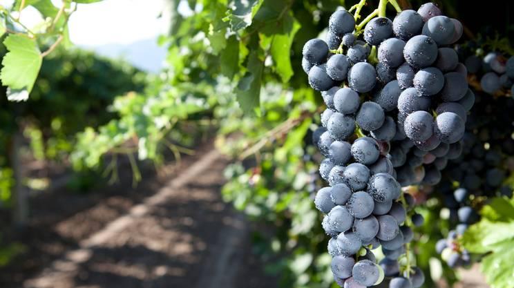 Grappoli d'uva, Azienda vinivola, Uva, Vite, Viticoltura, Uva nera